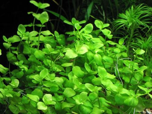 Bacopa Australis Welkom Bij Aquarium Planten Com Voor Midden Beplanting