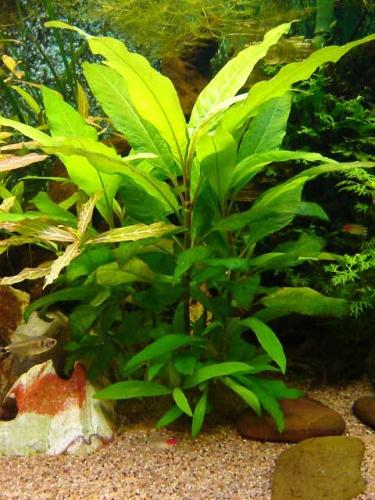 hygrophila siamensis welkom bij aquarium achtergrond planten. Black Bedroom Furniture Sets. Home Design Ideas