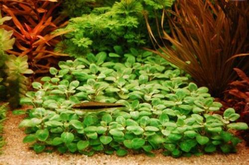 lobelia cardinalis mini welkom bij aquarium voorgrond beplanting. Black Bedroom Furniture Sets. Home Design Ideas