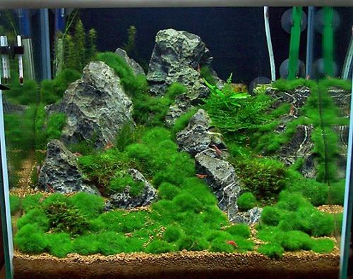 Cladophora aegagropila mosbal 1 stuks welkom bij for Boden aquarium