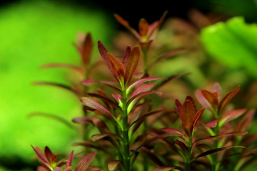 "Rotala sp. ""Sunset"""