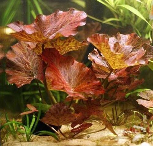 Rode Tijgerlotus Welkom Bij Aquarium Planten Com Voor Midden Beplanting