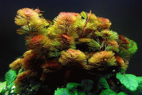 Cabomba Piauhyensis Welkom Bij Aquarium Planten Com Midden Achter Beplanting