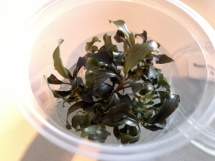 Bucephalandra Spec. brown/ red -In Vitro cup