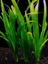 Vallisneria voeding